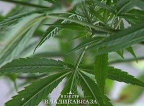 В Ларсе уничтожили заросли наркосодержащих растений